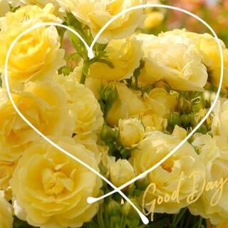 ◆ブーケの様に咲き誇る房咲きバラ苗挿し木用『挿し穂』2本セット(その他)