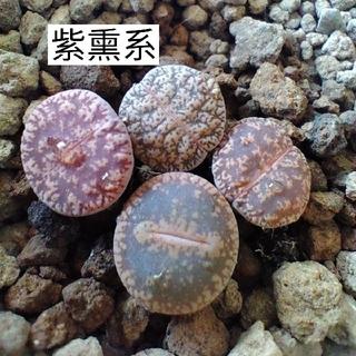多肉植物 リトープス 紫熏4点(その他)