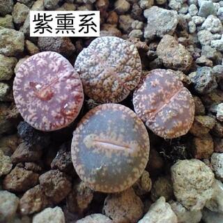 おまかせ 紫勲系 4点 多肉植物リトープス(その他)