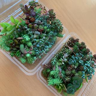 多肉植物 セダム カット苗 2パックセット(プランター)