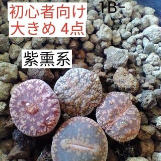 多肉植物 リトープス おまかせ紫熏4点(その他)