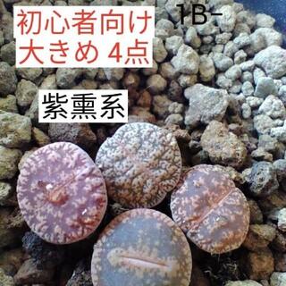 多肉植物 リトープス (その他)