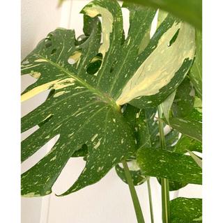 切株③(二節)  モンステラ デリシオーサ バリガエータ 黄斑入り35〜40cm(置物)