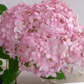 レア ピンクのアナベル ピンカーベルの苗(その他)
