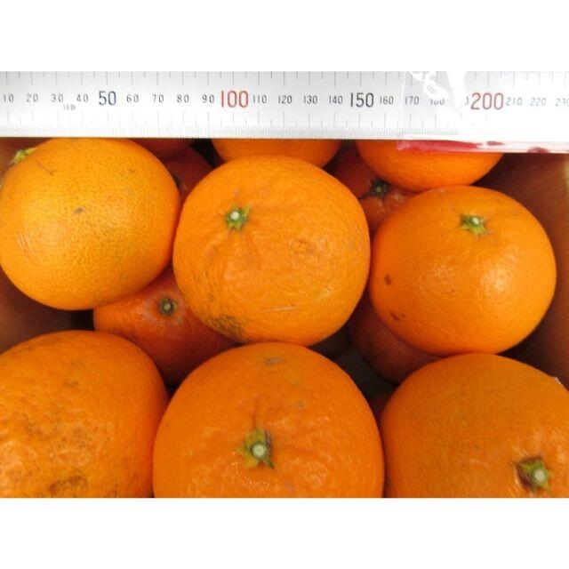 ご家庭用 清美タンゴールオレンジ🍊約4.5kg 訳あり不選別 防腐剤無し🉐 食品/飲料/酒の食品(フルーツ)の商品写真