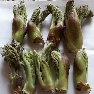 【1箱限定】  山菜 タラの芽 こごみ コシアブラ(野菜)