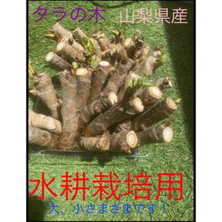 !タラの芽の木!水耕栽培キット水苔付き‼︎(野菜)