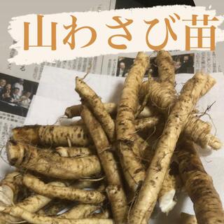 北海道産天然山わさび【苗】20本プラスα(野菜)