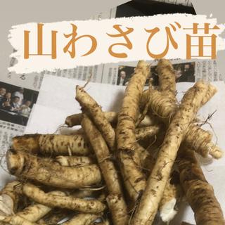 北海道産天然山わさび【苗】10本プラスα(野菜)