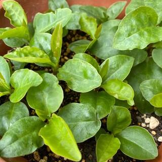 オカワカメ 苗(野菜)