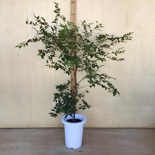 ジャボチカバ 小葉種