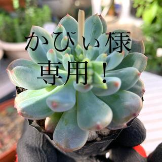 多肉植物 ブルーエルフ②❣️美苗 抜き苗(その他)