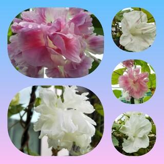 八重咲きのアサガオの種 60粒セット(白&ピンクMIX)(その他)