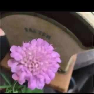 D(ᵔᴥᵔ)❤︎スカビオサ ピンク♡挿し穂苗♡可愛いお庭♡ベランダガーデン♡(その他)
