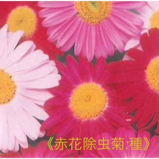 赤花除虫菊 種 30粒+おまけ   ロビンソン:ミックス(野菜)