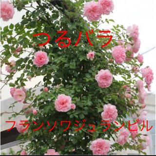 フランソワジュランビル つるバラ ピンクの薔薇 挿し木苗 根っこ付き(その他)