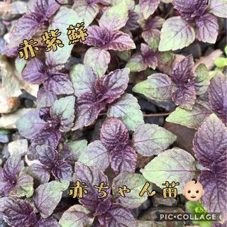 赤紫蘇   抜き苗   10苗   赤ちゃん苗   ミニミニ(野菜)