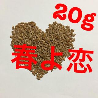 春よ恋 種子 20g 無農薬(野菜)