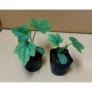 沖縄本島産 ナーベラー(食用へちま)の苗 2鉢セット♪(野菜)