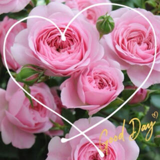 ◆優しい癒しピンクのアイドル♪房咲きバラ苗挿し木用『挿し穂』2本セット(その他)