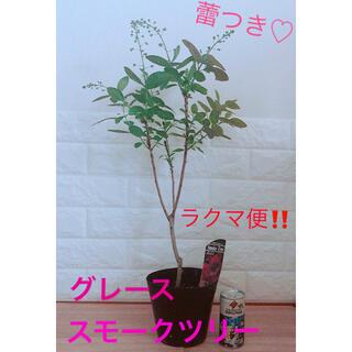 安心のラクマ便! 蕾つき♡ スモークツリー 苗木 ポットごと(その他)