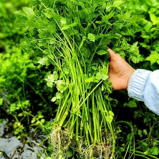 天然セリ根付き 1キロ 六甲山の麓の綺麗な小川で取ります(野菜)