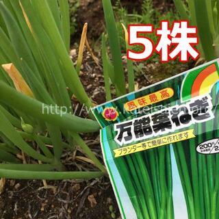 ■万能ねぎ 青ネギ苗 5本セット 薬味 ネギ プランター栽培OK♪(野菜)