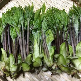 秋田県産 コシアブラ500g   産地直送(野菜)