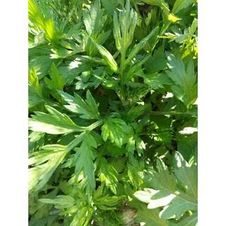 A5ネコポス【無農薬・無化学肥料】ヨモギ 食用(野菜)