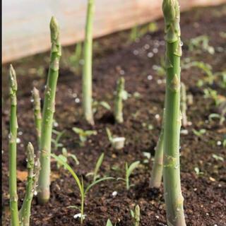 残り僅か‼️送料無料‼️アスパラ種50粒(野菜)