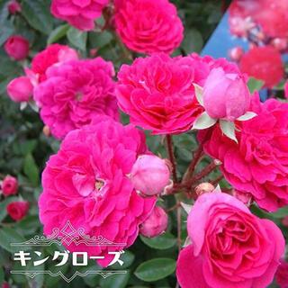 キングローズ つるバラ  挿し木苗 トゲが少ない 耐陰性 ピンク(その他)