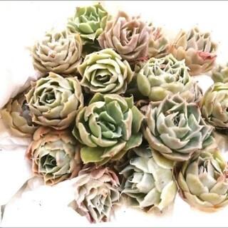 韓国苗 エケベリア シムランス 多肉植物(その他)