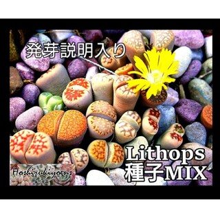 リトープス ミックス種子 60粒+α 発芽説明入り(その他)