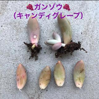 【葉挿し・ぜんぶ】ちょいレア★ガンゾウ(キャンディグレープ)(多肉植物)(その他)