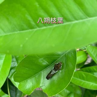 みかんの葉 3種(虫類)