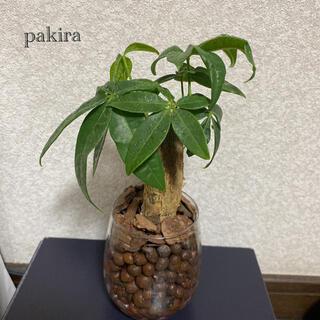 パキラ 観葉植物 ハイドロカルチャー
