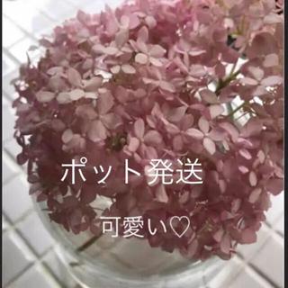 ②ポット発送(ᵔᴥᵔ)♡アナベルピンク♡発根苗♡可愛いお庭♡ドライフラワー(その他)