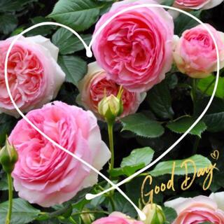 ◆育ててやすい殿堂入り♪強く美しい最強バラ苗挿し木用『挿し穂』2本セット(その他)