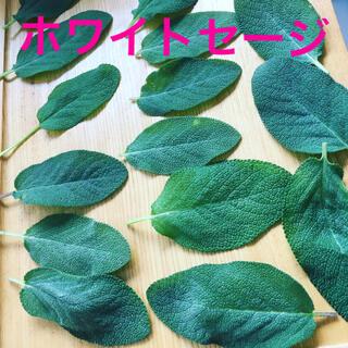 無農薬ホワイトセージ生葉15枚(野菜)