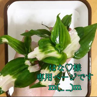 現品  トラカン ラベンダー カット7本  紫色ゴム(その他)
