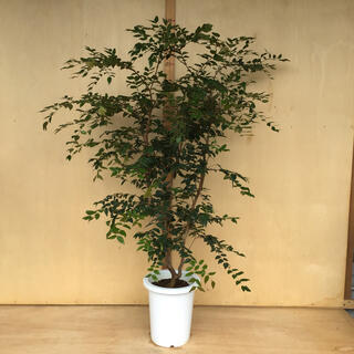 ジャボチカバ 中葉種(フルーツ)