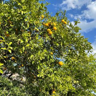 夏みかん🍊【無農薬・取立て新鮮✨】(フルーツ)