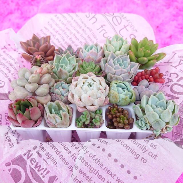 多肉植物 お値打ち寄せ植えセット 20種類 ハンドメイドのフラワー/ガーデン(その他)の商品写真