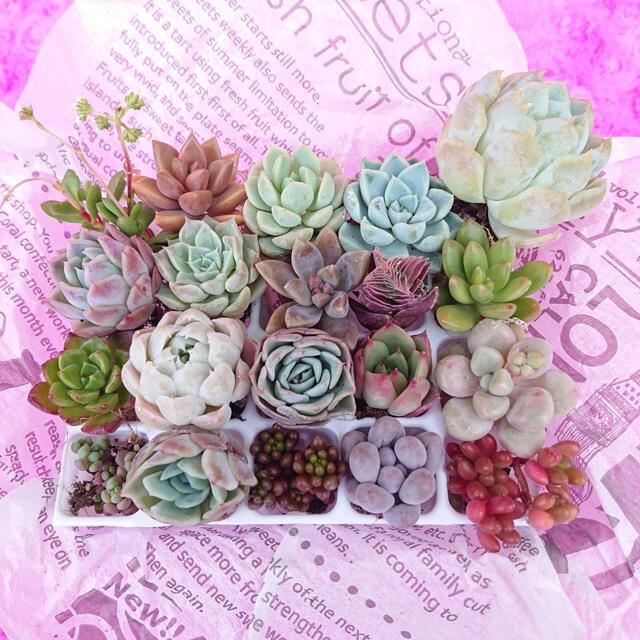 多肉植物 お値打ち寄せ植えセット  ハンドメイドのフラワー/ガーデン(その他)の商品写真