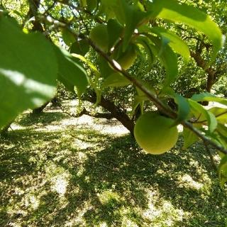 自然栽培 南高青梅 M(3~3.3cm) 5kg 無肥料 無農薬 鹿児島県産(フルーツ)