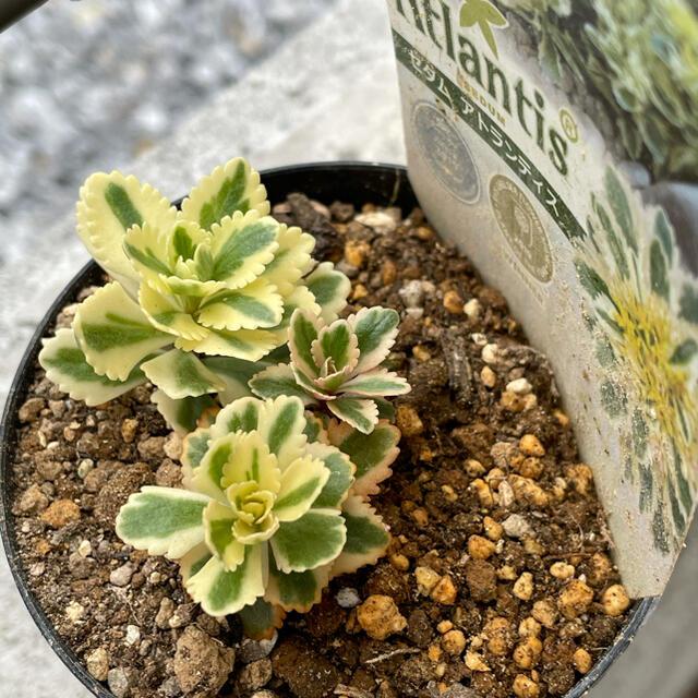 多肉植物 セダム アトランティス 抜き苗 ハンドメイドのフラワー/ガーデン(その他)の商品写真