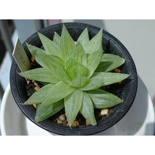 多肉植物 ハオルチア ホワイトベール(その他)