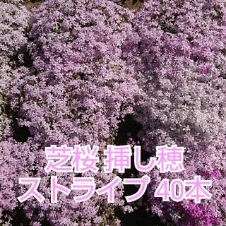 芝桜 挿し穂 ストライプ 40本(その他)