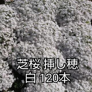 芝桜 挿し穂 白 120本(その他)