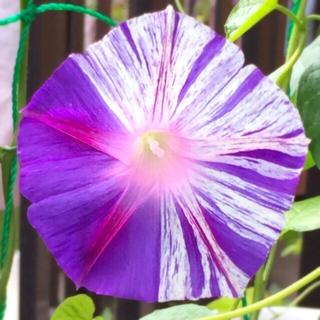 紫 絞り 朝顔の種 50粒(その他)